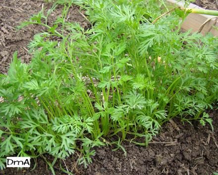 Vegetales | GardenerScott