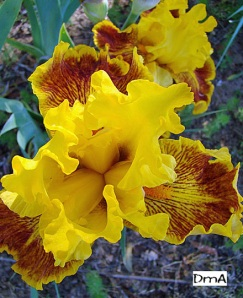 Iris Facts Tips And Helpful Hints In And Around The Garden