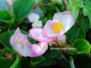 Begonia 'Appleblossom'