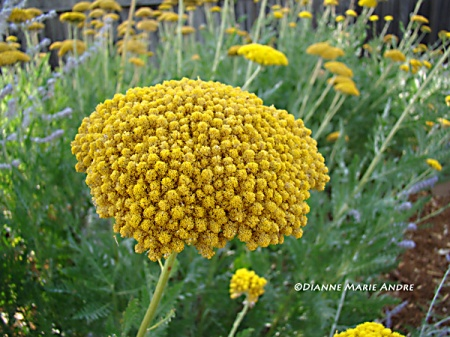 Yarrow (Coronation Gold)