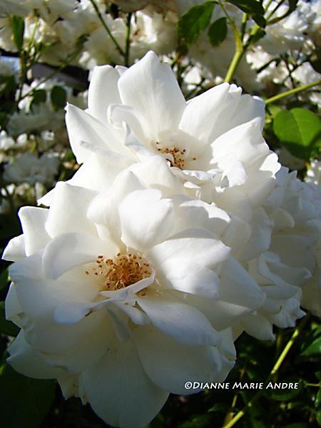 Iceberg rose (floribunda)