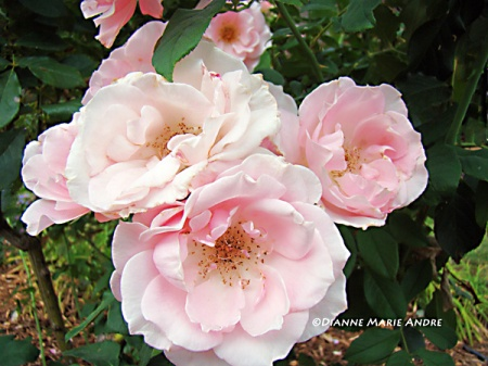 unknown pink floribunda rose